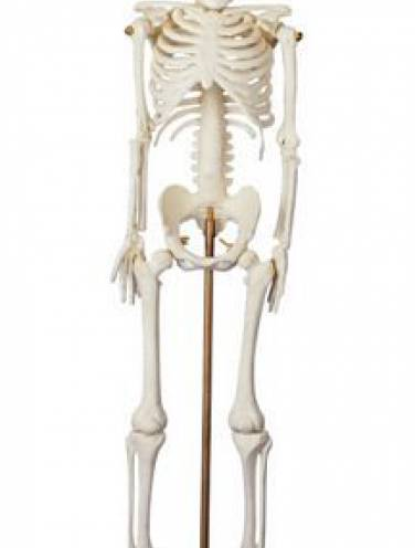 image of My First Skeleton  Tiny Tim   Csm1   16 1/2  Tall